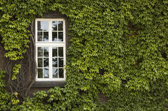Window with ivy Stock Image