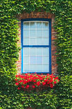 window and ivy  Royalty Free Stock Photos