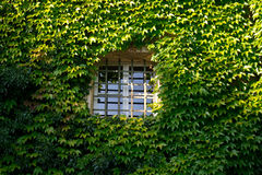 Window with ivy. An green ivy covered wall with a window Stock Photography