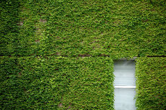 Window and ivy. Wall with a window covered over by green ivy, taken at exhibition center,Frankfurt Germany Stock Photos