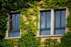 Window and ivy. Three windows covered over by green ivy, shot at luzern, switzerland Stock Images