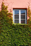 Window and ivy Royalty Free Stock Photo