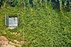 Window and ivy Royalty Free Stock Images