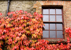 Window with ivy in autumn, in Ireland Stock Images