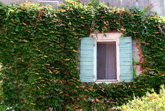 Window on ivy covered wall. Window with blinds on ivy covered wall in Provence, Frence Royalty Free Stock Image