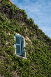 Window and ivy. A window in a house covered with ivy Stock Images
