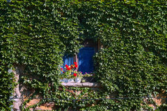 Window in ivy. The photograph is part of the residential building whose entire facade covered with ivy so that only the space that is lost is the ivy window Stock Photography