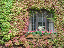 Window ivy plant growing around it. Profusion of ivy covering wall around window on old building stock photo