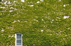 Window and ivy Stock Photo