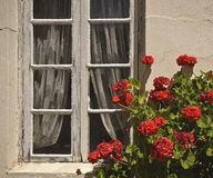 Window, Lace, and Red Flowers Stock Images