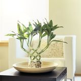 Lucky bamboo houseplant in comfortable, modern living room. Fresh, natural, home interior decor.