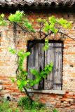 window of the old brick house and a vine branch vineyard Royalty Free Stock Image
