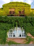 Window of an old house with ivy on the wall in Oradea, Romania. Nature is taking over Stock Photography