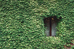 Window of an old house with wall overgrown by wild grapes Stock Image