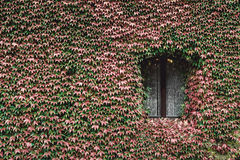 Window of an old house with wall overgrown by wild grapes Royalty Free Stock Photos