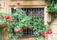 A window with old metal lattice and a bush of fresh red roses after the rain. Walldorf, Germany Royalty Free Stock Image