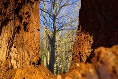 Trocnov, Czech Republic, South Bohemia. Window in old oak, old devastated wood and silhouette of a tree stock image
