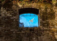 Window and white pigeon in flight Royalty Free Stock Photo
