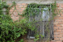 Window with overgrown creeper plant stock image