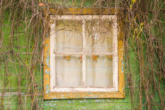 Window overgrown with ivy stock image