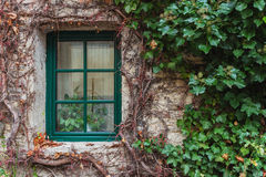 Window overgrown with ivy. Old wooden window overgrown with ivy in fall colors, Czech Royalty Free Stock Photos