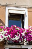 Window with pink blooming petunia flowers  in Venice,Italy. Typical italian orange house with window  with pink blooming petunia flowers  in Venice ,Italy Royalty Free Stock Photography