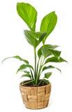 Window plant  Royalty Free Stock Image