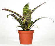 Window plant. Home plant vriesea splendens on light background ( not isolated). Two shots stitch image Royalty Free Stock Photo