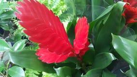 Window plant `vriesea splendens` in garden Royalty Free Stock Images