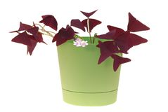 Window plants oxalis Stock Photo