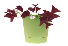 Window plants oxalis. Is in flowerpot Stock Photography