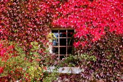 Window with red autumn Foliage. One old window with red autumn Foliage royalty free stock images