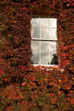 Window and red ivy. Detail of white wood window with cloud reflection in a wall covered with red and orange ivy royalty free stock photo