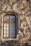 Window and red ivy Royalty Free Stock Photos