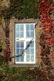 Window in red ivy covered brick wall Stock Photography