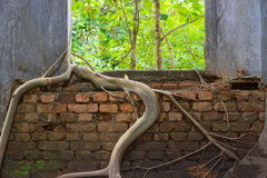 Window with roots of trees grip inwards. Windows of an old church wat som det sangkraburi with roots of trees grip inwards Stock Photography