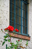 Window and the rose. Scenery of the red rose of a window and the garden Stock Images