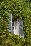 Window with shutters and green ivy. On the stone wall Stock Images