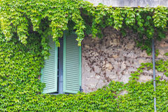 Window with shutters and green ivy. On the stone wall Stock Photography