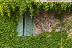 Window with shutters and green ivy. On the stone wall Royalty Free Stock Photos