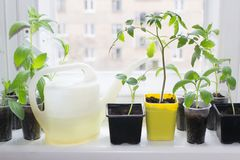 Window sill garden. With seedling of tomatoes, cucumbers and flowers stock photos