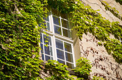 Window surrounded by green ivy Royalty Free Stock Images