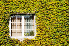 Window surrounded by ivy Stock Photo