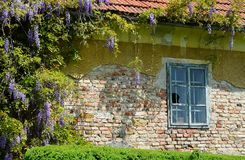 Old and damaged Window with lilac. A window surrounded by lilac. Flowers on an old and abandoned house stock photography