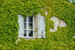 Window surrounded by Vines. A window with wooden shutters is hidden by extensive vine growth in Bordeaux France stock images