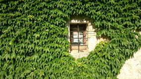 Window throgh green. Small window covered with ivy Royalty Free Stock Photography
