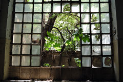 Window tree. Tree growing through the broken windows of an abandoned factory Stock Photos