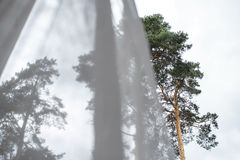 Window view of pine trees and sky behind transparent curtains. Reverie royalty free stock photo