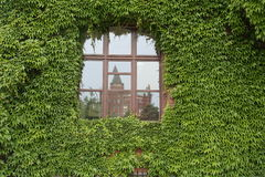 Window and vine Royalty Free Stock Image