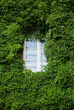 Window and wall covered with ivy Stock Image